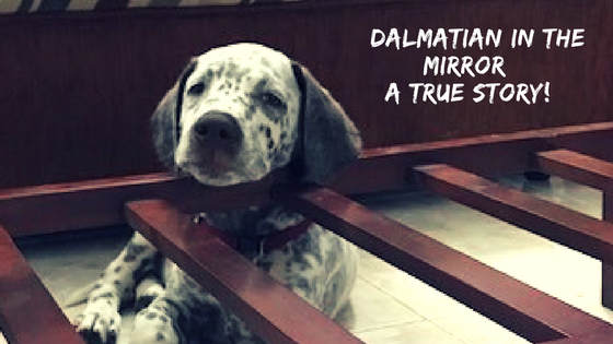 Dalmatian in the mirror… A true story…